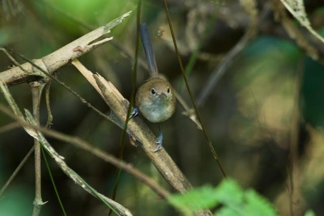Long-billed Gnatwren (presumed subspecies <em>amazonum</em>).
