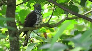 - Sulawesi Cuckoo