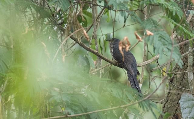 Dusky Long-tailed Cuckoo