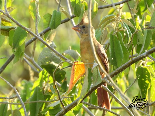 Juvenile (presumably subspecies <em>coccineus</em>).