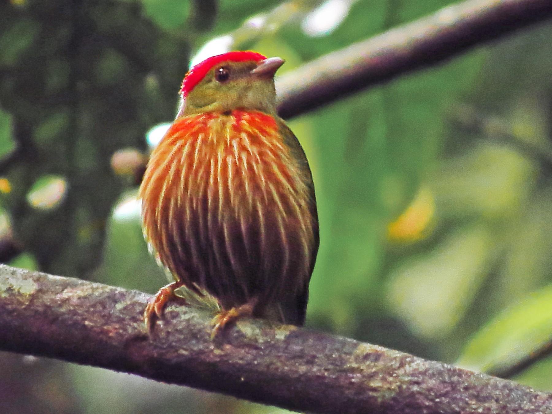 Striolated Manakin - Jorge Muñoz García   CAQUETA BIRDING