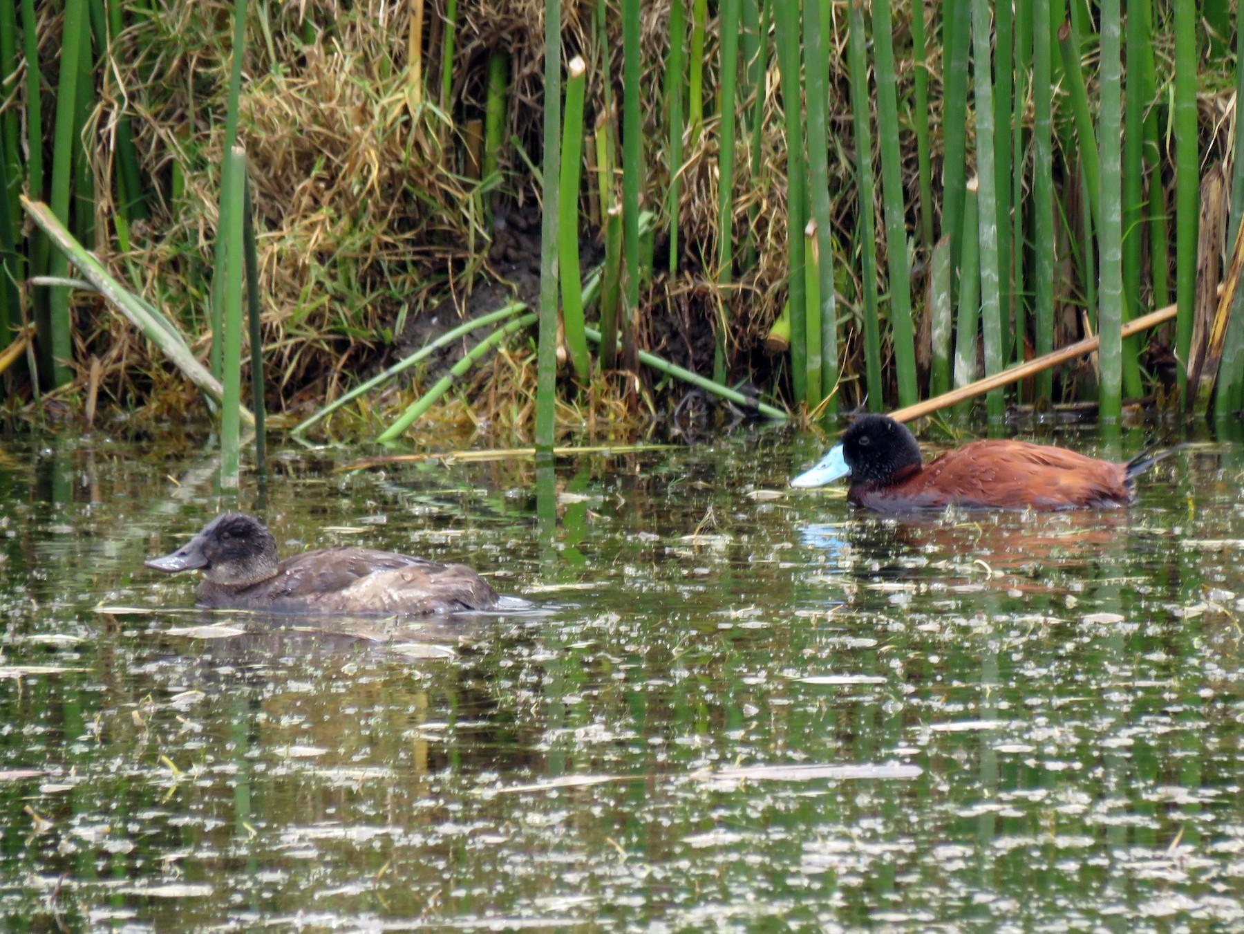 Andean Duck - Edison Ocaña
