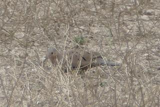 Ecuadorian Ground Dove