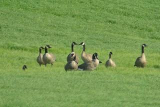Canada Goose (moffitti/maxima), ML111640271