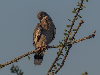 White-winged Dove, ML111976901