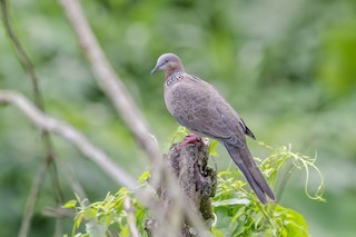 Spotted Dove (Eastern), ML112033361