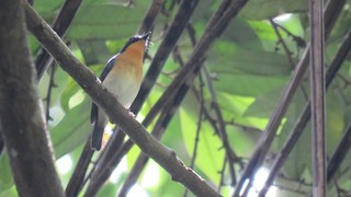 - Rufous-throated Flycatcher