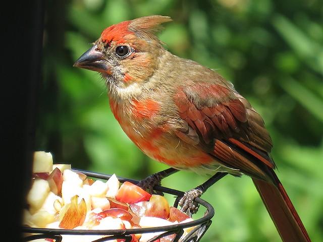 Male Northern Cardinal undergoing Preformative Molt.