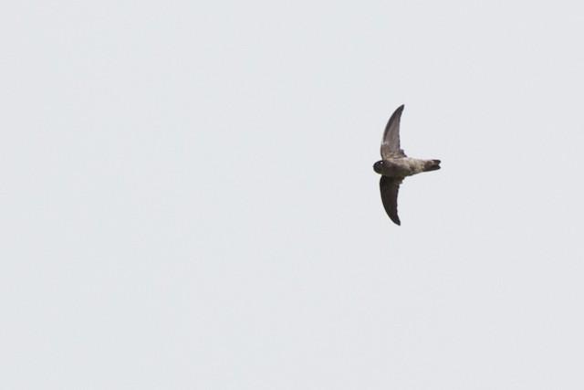 Seychelles Swiftlet