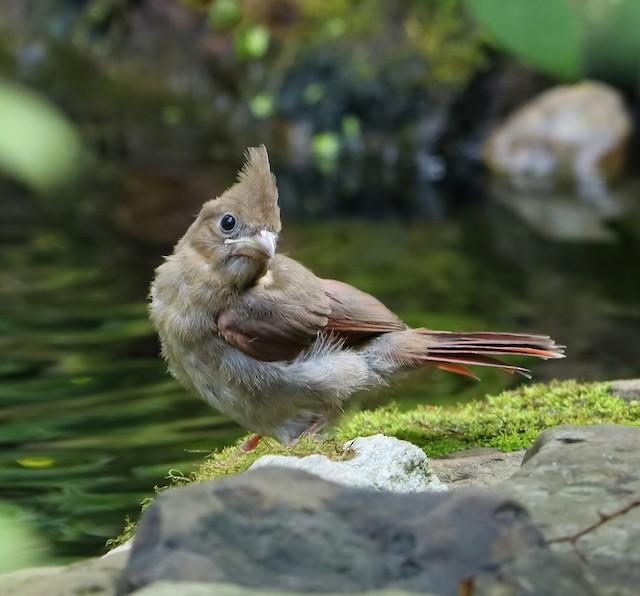 Juvenile Northern Cardinal (subspecies <em>cardinalis</em>).