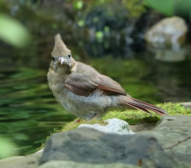Juvenile Northern Cardinal.