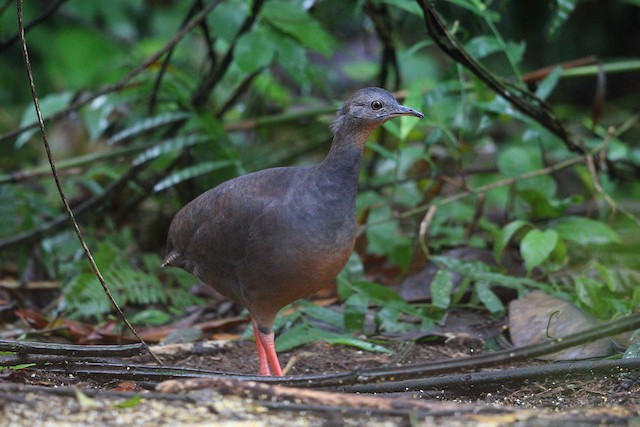 Black-capped Tinamou