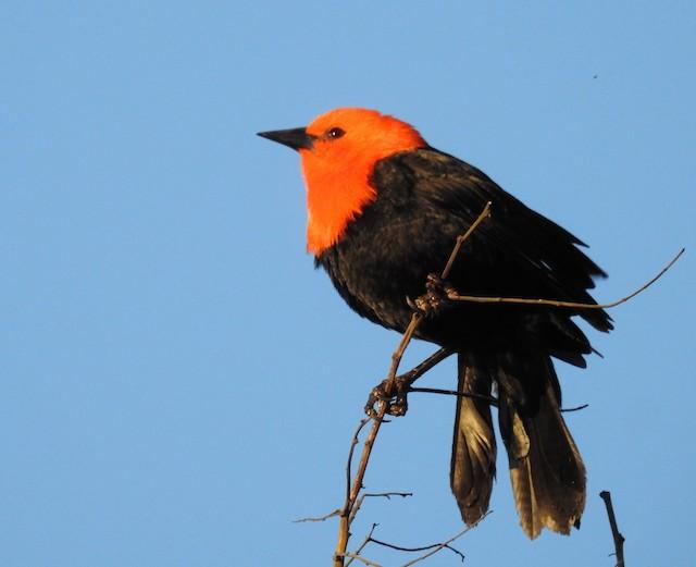 Scarlet-headed Blackbird