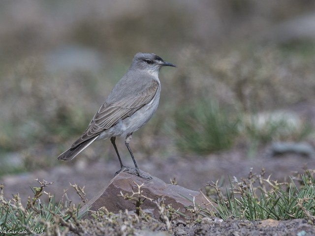 Black-fronted Ground-Tyrant