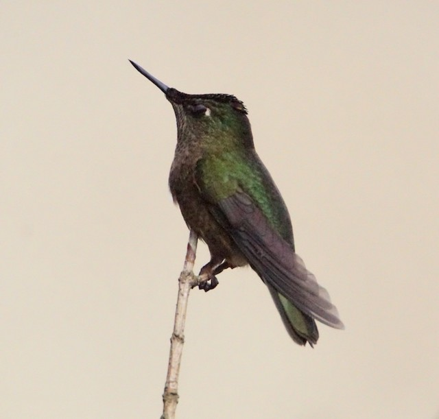 Green-backed Firecrown