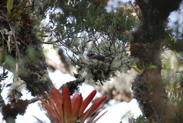 Chestnut-crested Cotinga