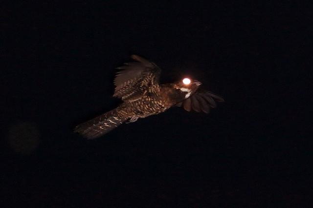 Papuan Nightjar