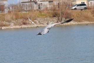 Snow Goose, ML112652311