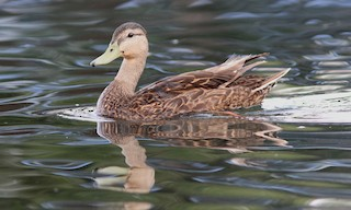 - Mexican Duck
