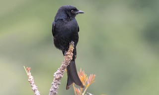 - Fork-tailed Drongo