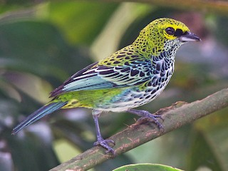 - Speckled Tanager