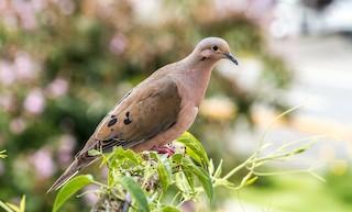 Eared Dove, ML112946001