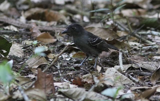 Blackish-gray Antshrike