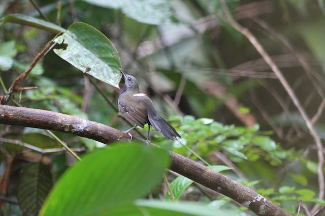 Black-throated Antbird