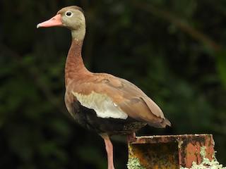 Black-bellied Whistling-Duck, ML113043091