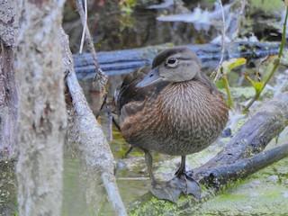 Wood Duck, ML113072271