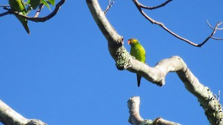 - Yellow-and-green Lorikeet (Mustard-capped)