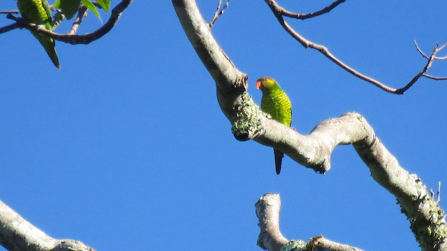 Yellow-and-green Lorikeet (Mustard-capped)