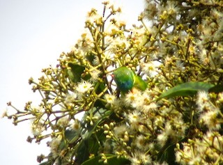 - Blue-fronted Lorikeet