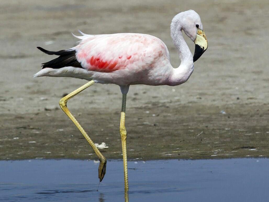 Andean Flamingo - Charly Moreno Taucare