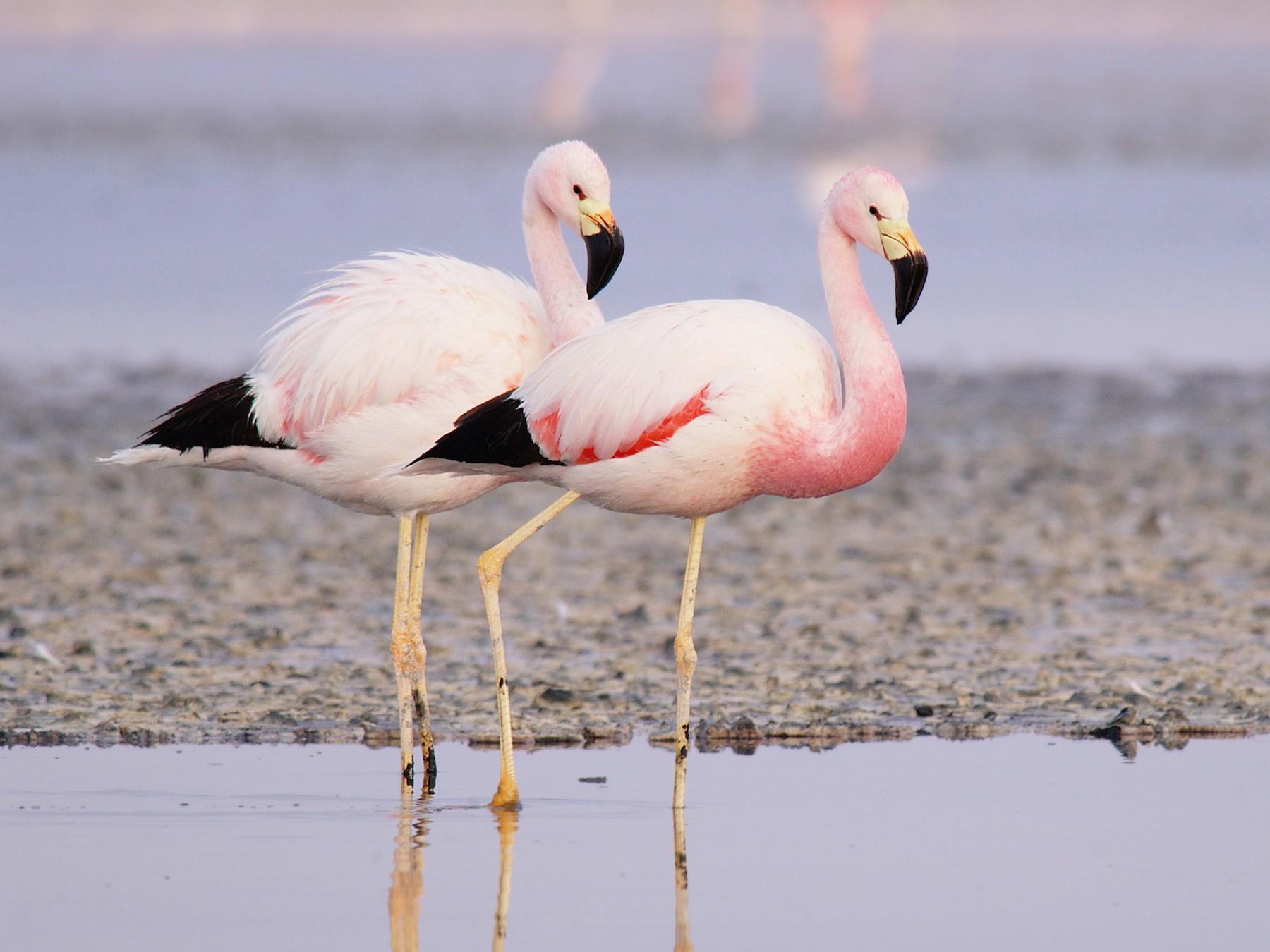 Andean Flamingo - Etienne Artigau