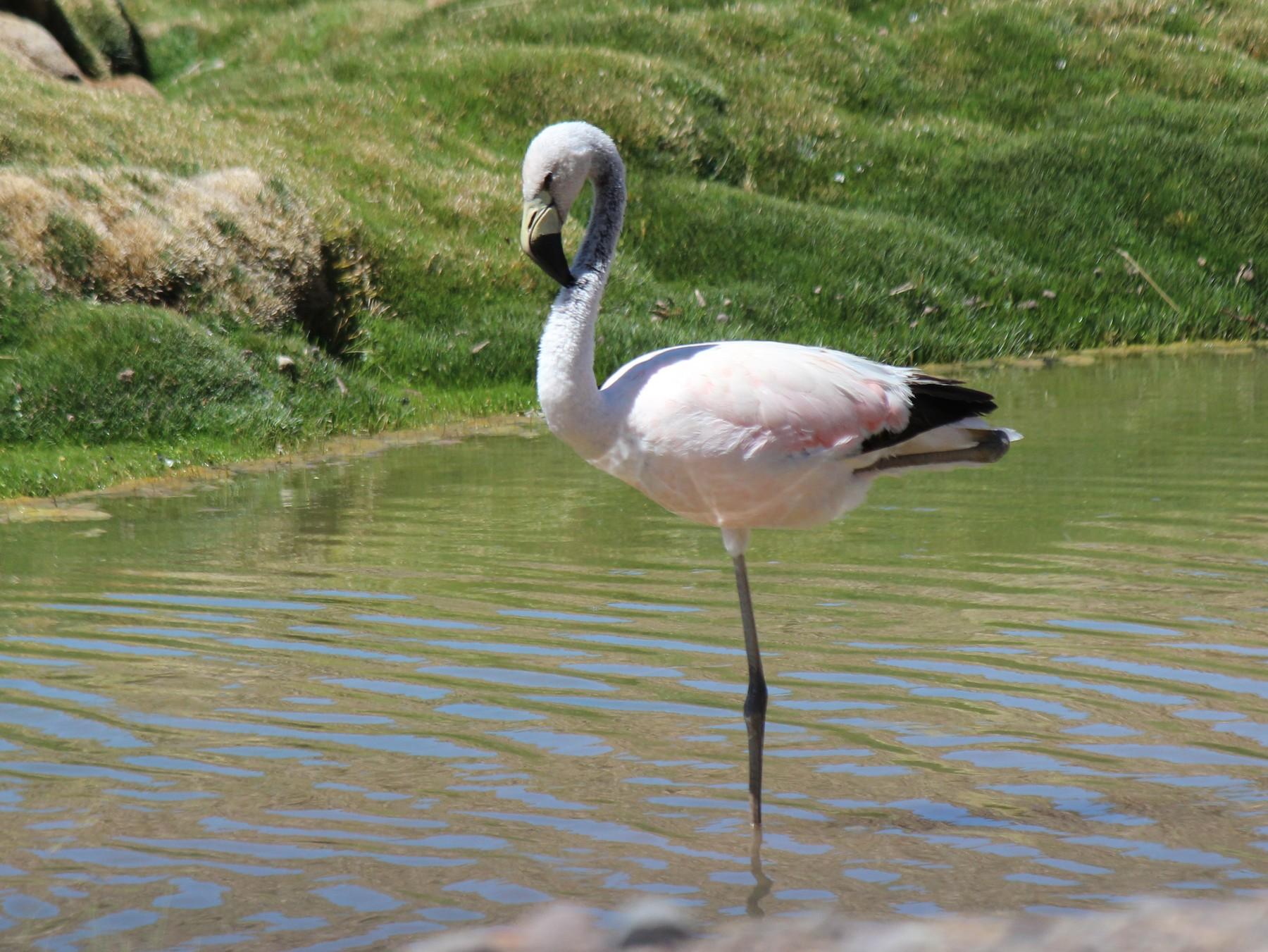 Andean Flamingo - Michael Weymann