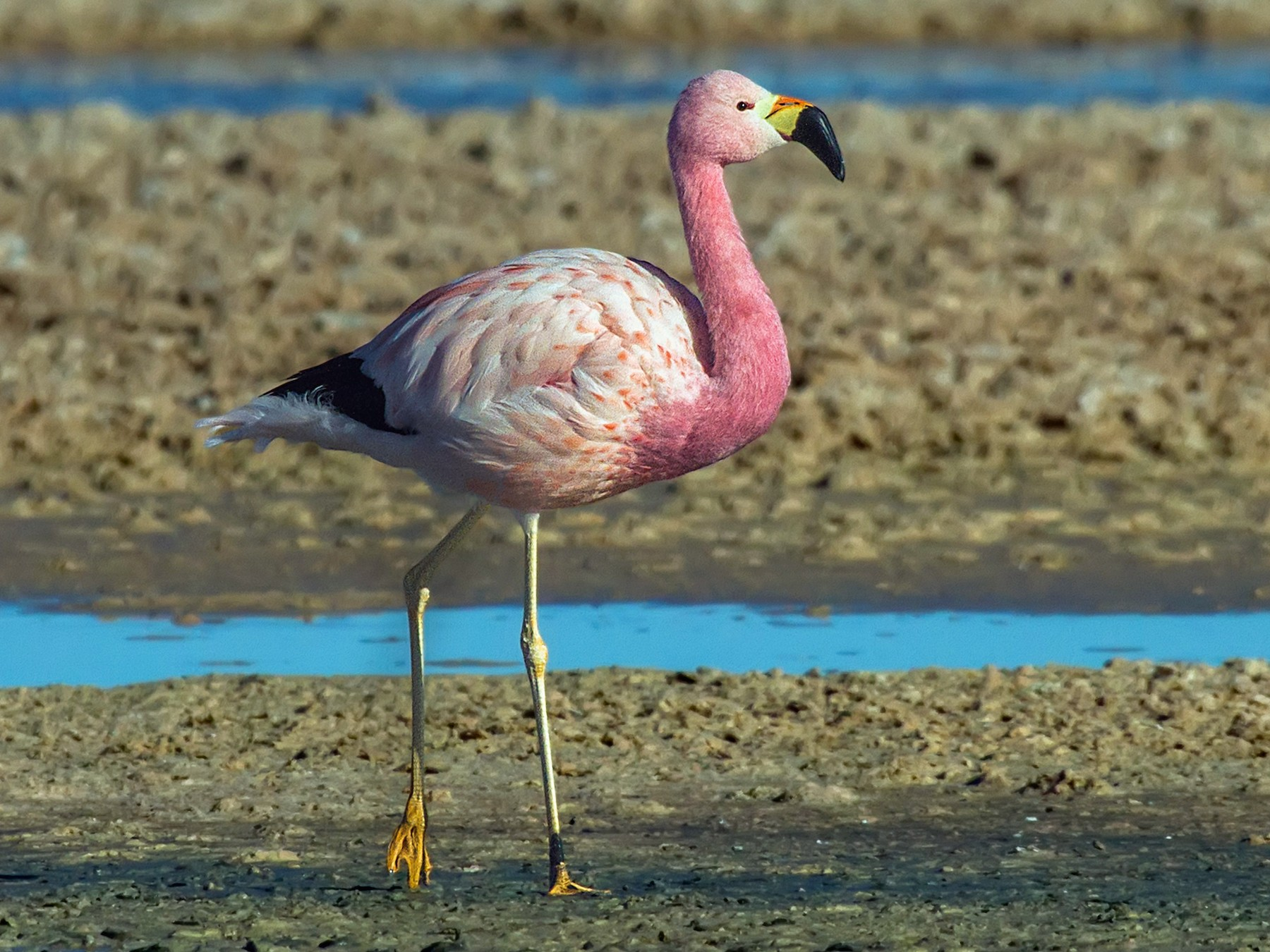 Andean Flamingo - Pio Marshall