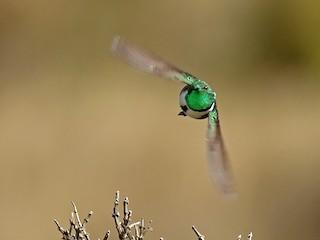 - Green-headed Hillstar