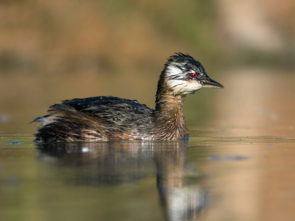 White-tufted Grebe - Javier Gross