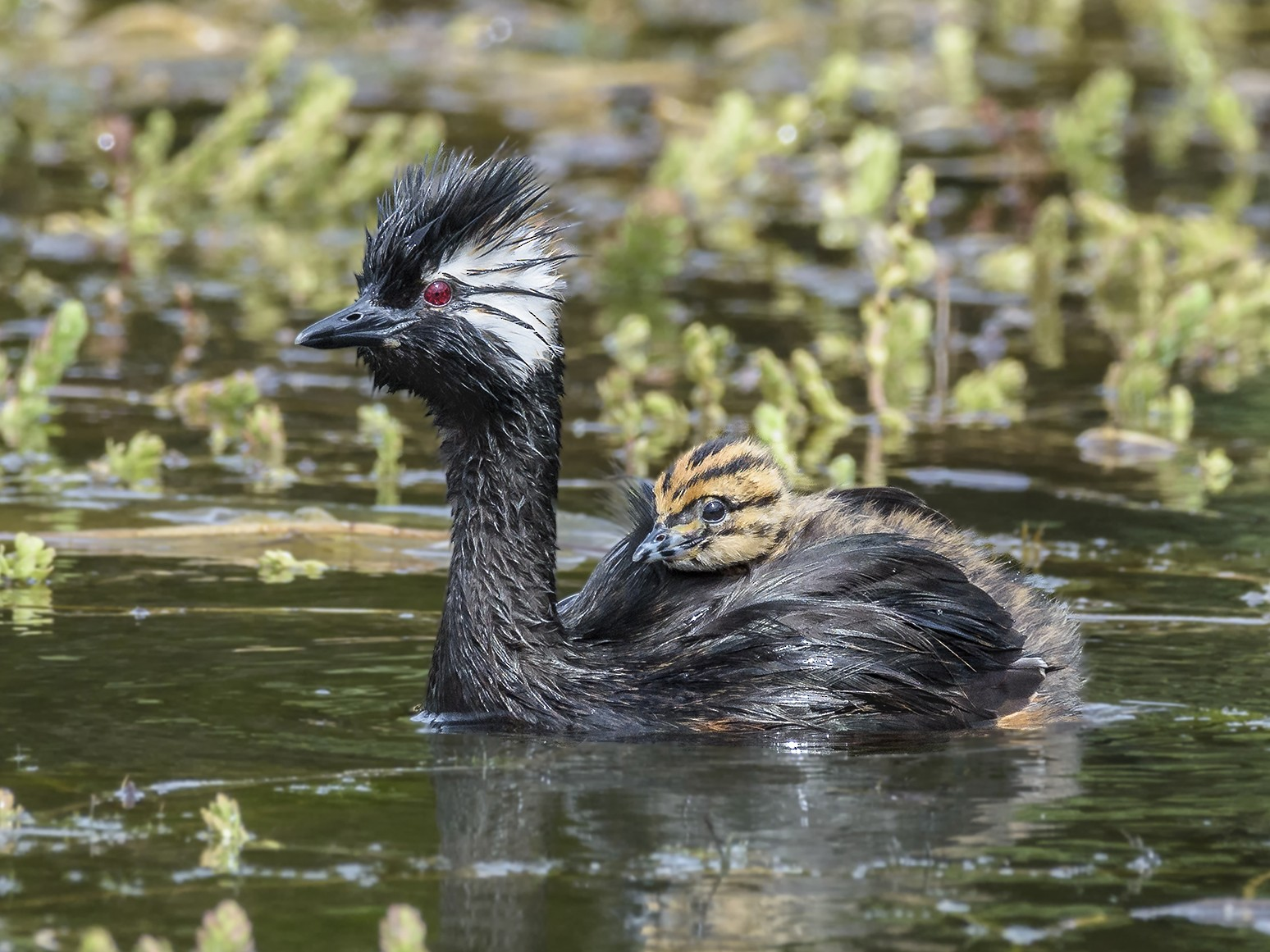 White-tufted Grebe - VERONICA ARAYA GARCIA