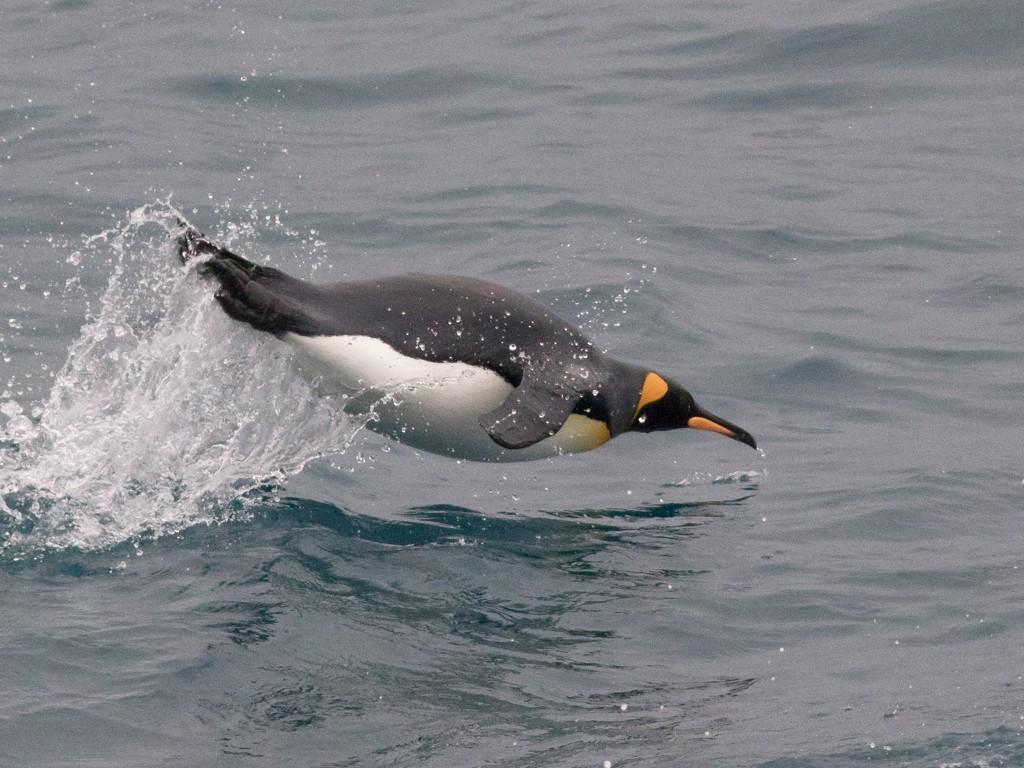 King Penguin - Tom Johnson