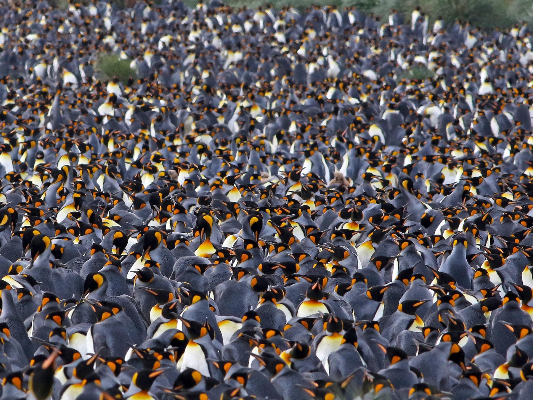 King Penguin - Andrew Spencer