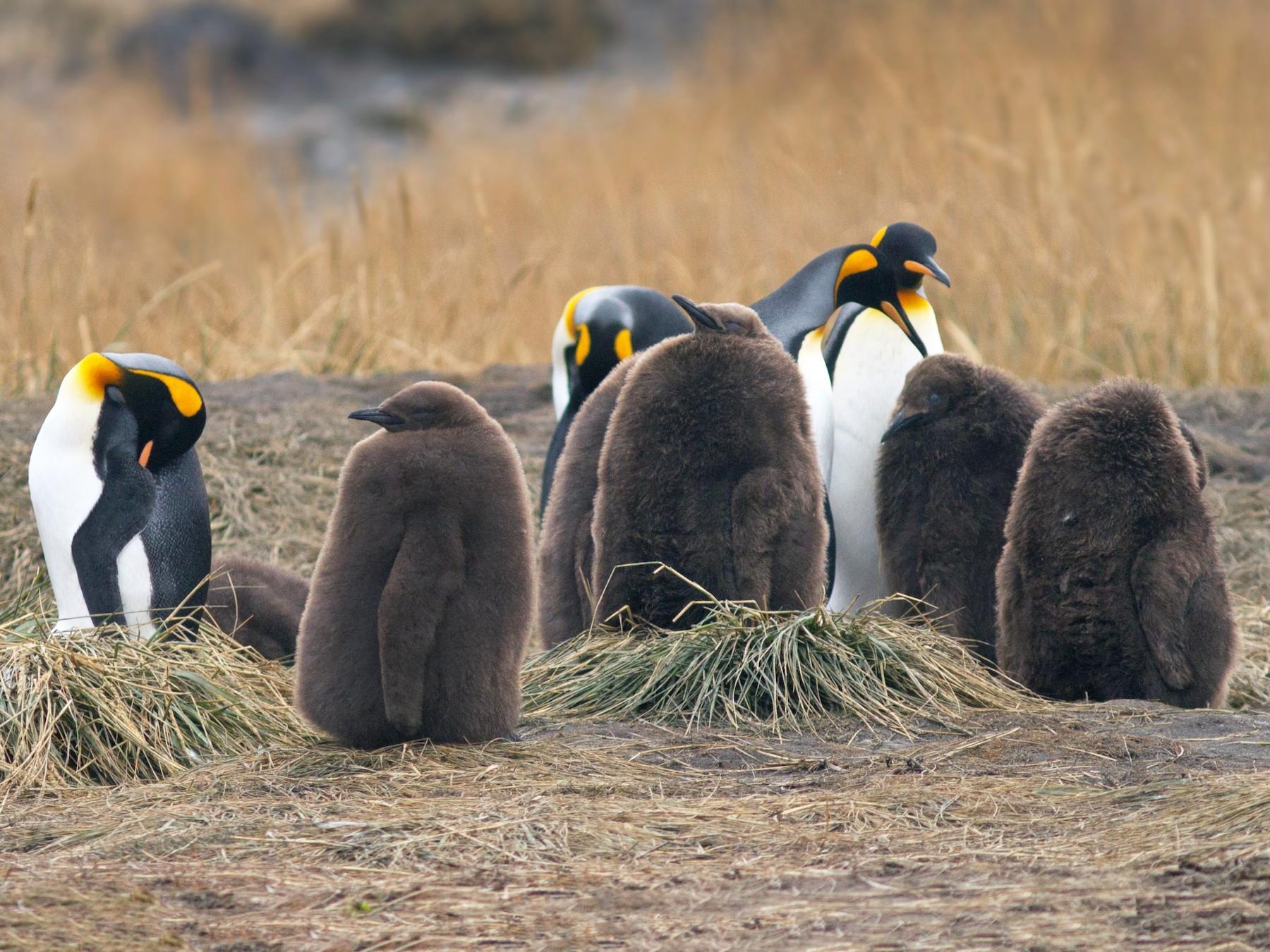 King Penguin - Fernando Medrano Martínez