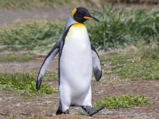 - King Penguin