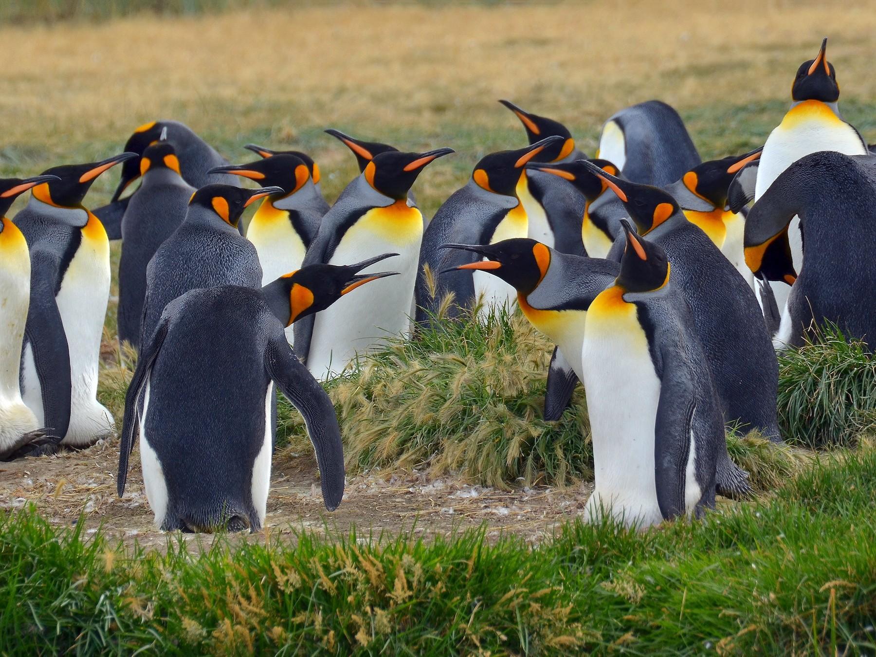 King Penguin - Pablo Gutiérrez Maier