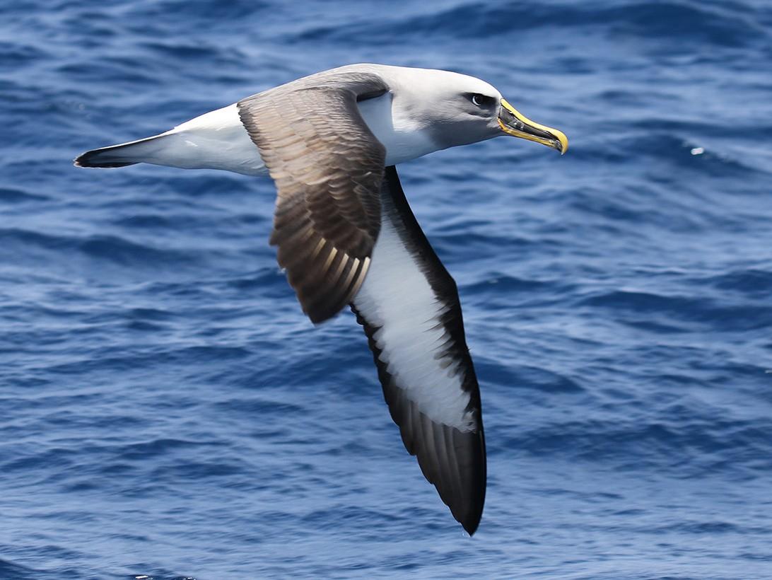 Buller's Albatross - Fabrice Schmitt