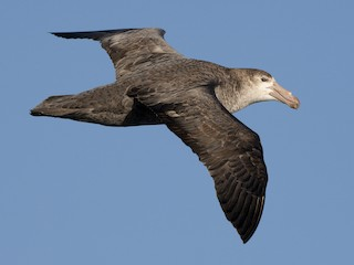 - Northern Giant-Petrel