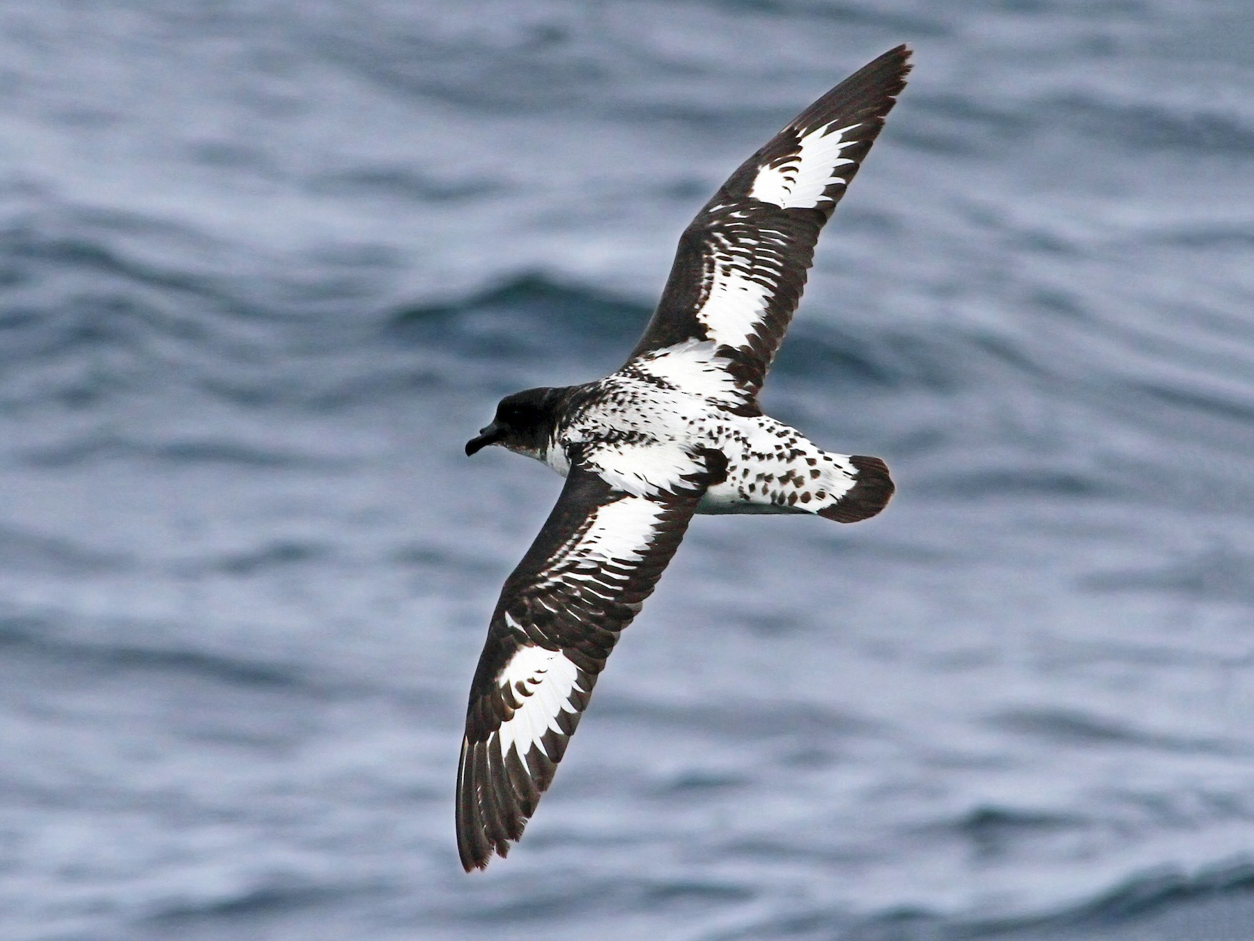 Cape Petrel - Andrew Spencer