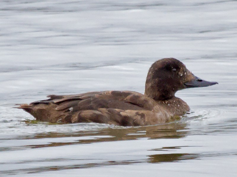 Velvet Scoter - Jon Lowes