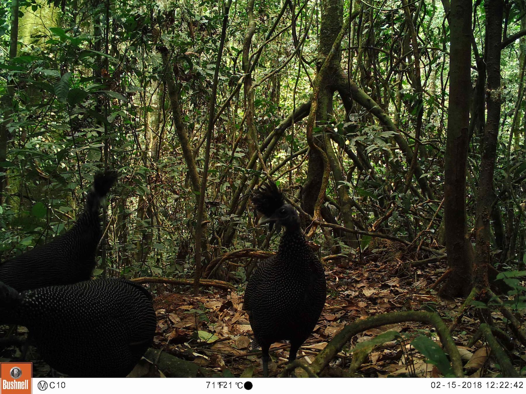 Plumed Guineafowl - Selvino de Kort